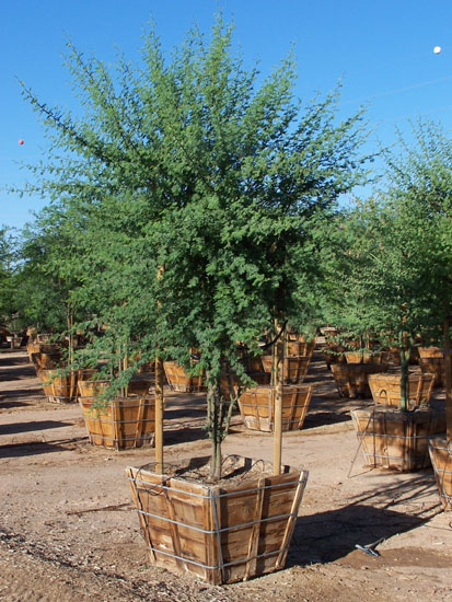 Desert And Drought Tolerant Trees By Western Tree Company Phoenix